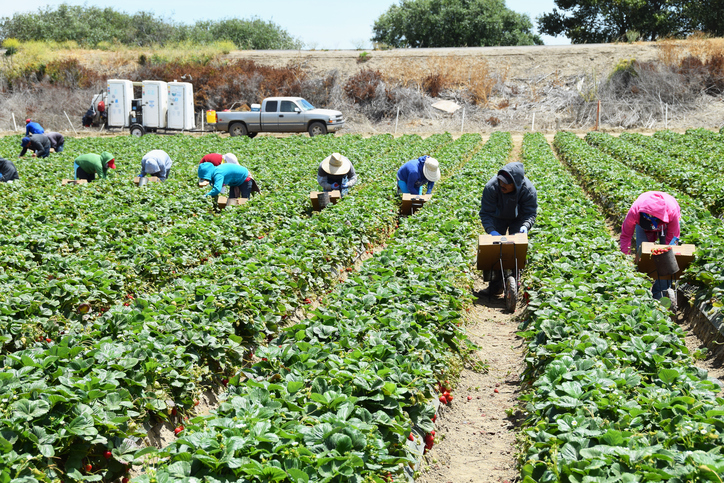 Strawberry Harvest in Central California